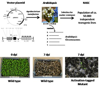 Arabidopsis screening